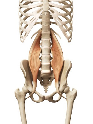 muscle anatomy - the psoas major