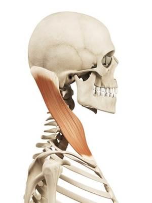 胸鎖乳突筋 解剖図