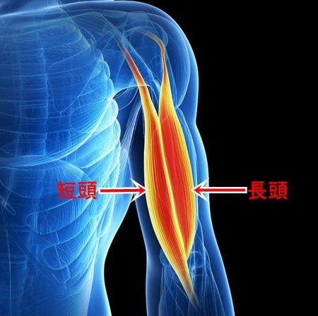 上腕二頭筋 解剖図