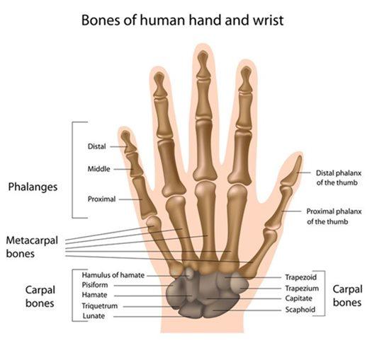 手の解剖図